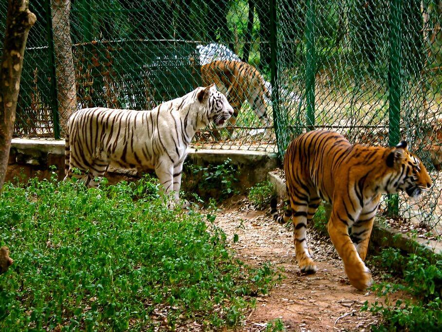 Bannerghatta Tiger Park. Zoo timings and things to do in Bannerghatta Nature Camp